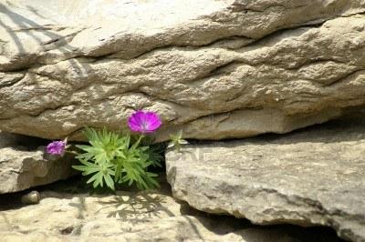 pink flower in rocks